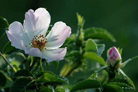 Sommer: a rosehip flower in the morning dew