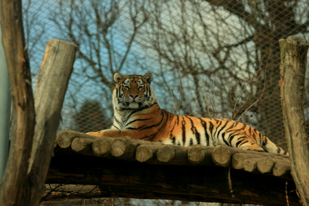 wildcats: Amur tiger at the zoo Stock Photo
