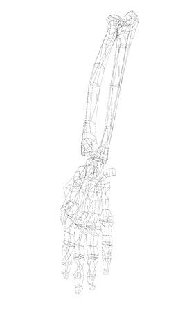 finger bones: Human body, hand , body structure , wire model