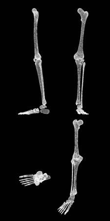 finger bones: Human body, leg , body structure , wire model