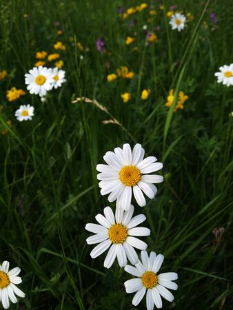 a meadow and three large marguerites or oxeye daisy in full bloom splendour. beautyfull white flower heads between many grasses. partial focus in bird's-eye view Stock Photo