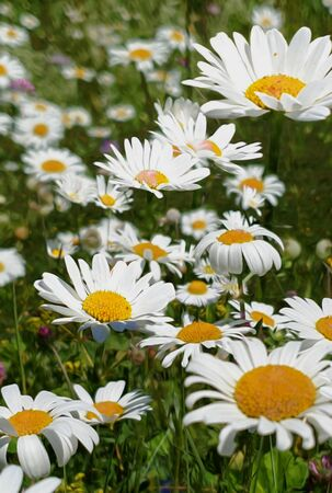 A meadow with marguerites or oxeye daisy in full bloom splendor with grasses; partial focus. the white flower heads between many grasses for a cheerful background in white, yellow, green.