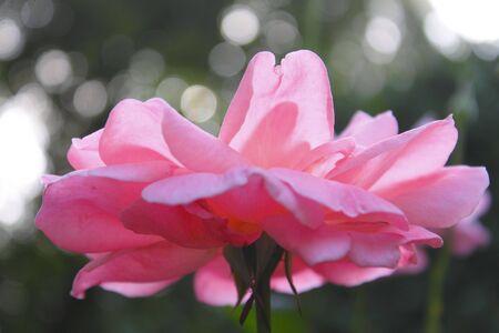 china rose: china rose
