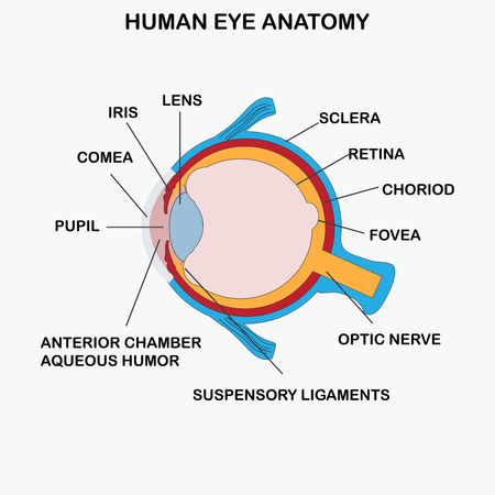 optic nerve: Anatomy of human eye, vector illustration.