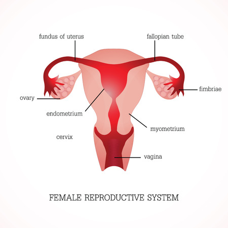 Structure and function of Human Female reproductive Anatomy system isolated on background, Human anatomy education vector illustration.