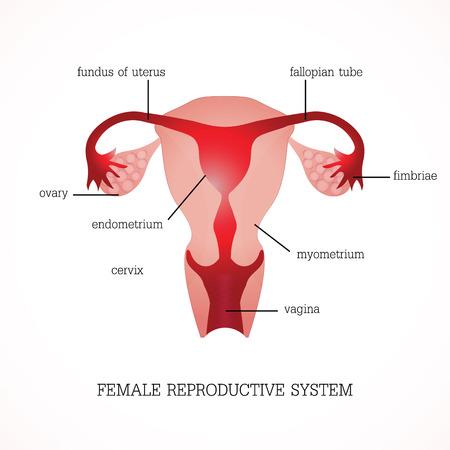 Structuur en functie van menselijke vrouwelijke voortplantingssysteem Anatomy systeem geïsoleerd op de achtergrond, Menselijke anatomie onderwijs vector illustratie. Stock Illustratie