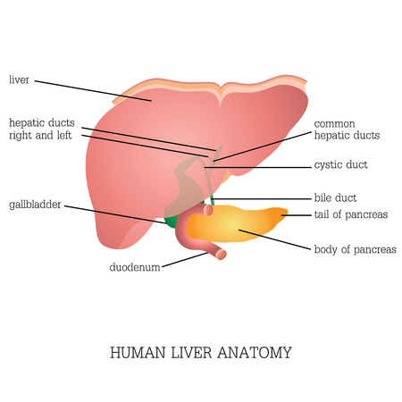 cystic duct: Structure and function of Human Liver Anatomy system isolated on white background, Human anatomy education vector illustration. Illustration