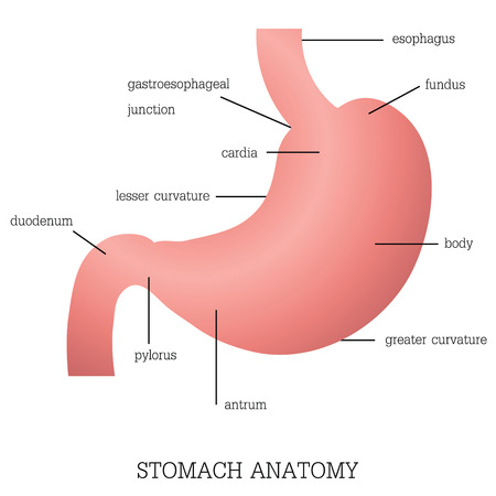 Structure and function of Stomach Anatomy system isolated on white background, Human anatomy education vector illustration. Stock Illustratie