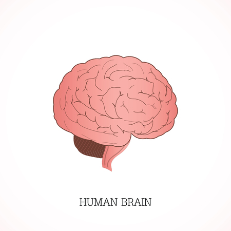 Structure of human brain Anatomy system isolated on white background, Human anatomy education vector illustration. Illustration