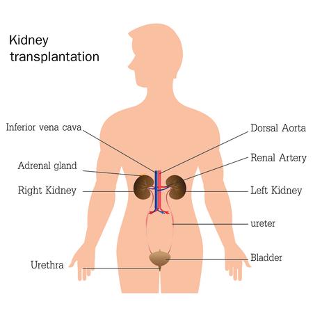 Estructura y función del sistema urinario, la anatomía del sistema urinario aislado en el fondo blanco, ilustración de la anatomía humana educación urinaria. Ilustración de vector