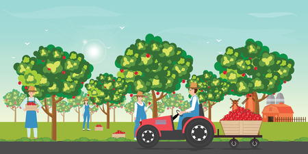 Gardener picking apples on a farm in autumn with tractor during apples harvesting on blue sky background cartoon vector illustration.