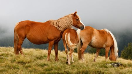 Three beautiful brown horses grazing on an alpine meadow in the morning fog. Stock Photo - 5421383