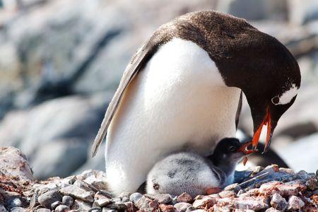 Une m�re Gentoo Penguin est charg� des repas r�gurgit� � son nouveau-n� chick � une colonie de pingouins � Base Antarctique de Gonz�lez Videla, Paradise Bay, Antarctique.