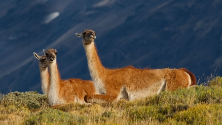 Guanacos  (Lama Guanicoe) in Torres del Paine National Park, Patagonia, Chile