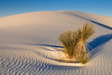 white sands national monument: Survival - Lone Plant on Sand Dune at White Sands National Monument, New Mexico, USA. Stock Photo
