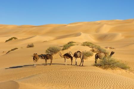 リビア砂漠 - Awbari 砂の海、サハラ砂漠でのラクダの群れ 写真素材