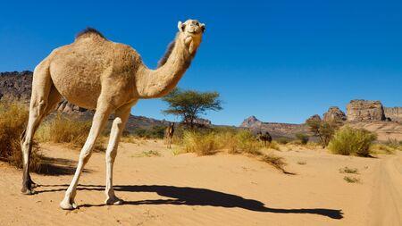 Curious Camel in the Desert - Akakus (Acacus) Mountains, Sahara, Libya photo