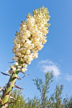 Our Lords Candle (Yucca, Hesperoyucca whipplei) in full bloom, California, USA photo