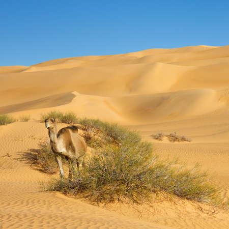 desierto del sahara: Camello en el desierto del Sahara, Libia desierto - mar de arena de Awbari,