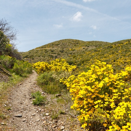 Desert wildflowers in full bloom along the Pacific Crest Trail in Californias Anza-Borrego Desert State Park, USA photo