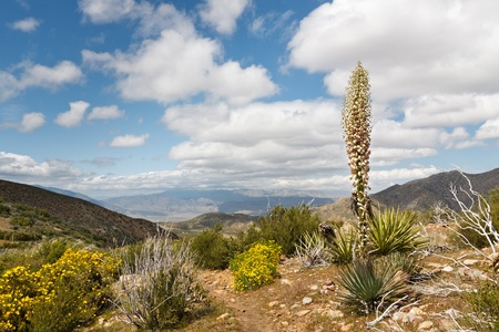 pacific crest trail: Desert wildflowers in full bloom along the Pacific Crest Trail in Californias Anza-Borrego Desert State Park, USA
