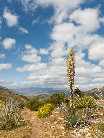pct: Desert wildflowers in full bloom along the Pacific Crest Trail in Californias Anza-Borrego Desert State Park, USA