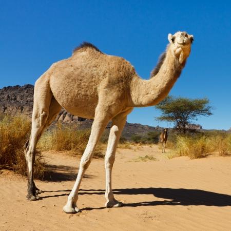 camello: Camello en el desierto del Sahara, Libia Foto de archivo
