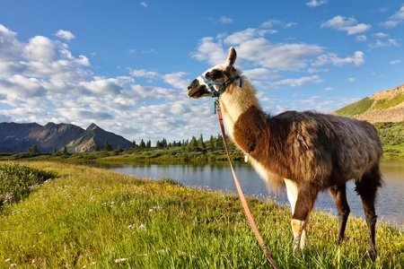 san juans: Llama at an idyllic mountain lake in the Rocky Mountains, Colorado. Stock Photo