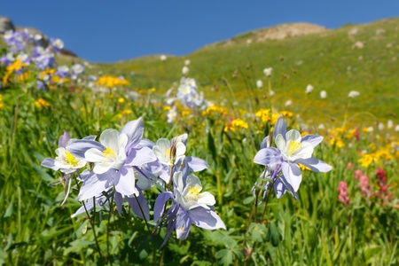 rocky mountains: Wildflowers in volle bloei op Alpen weide in de Rocky Mountains langs de Colorado Trail. Stockfoto