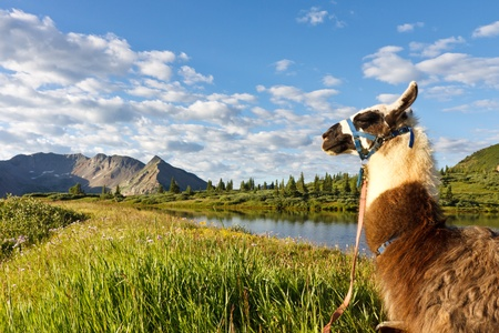 Llama sitting at an idyllic mountain lake in the Rocky Mountains, Colorado. Stock Photo - 12657621