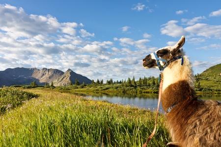 Llama sitting at an idyllic mountain lake in the Rocky Mountains, Colorado. Stock Photo - 12657621