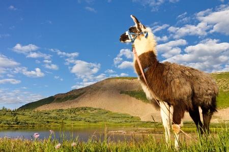 san juans: Llama at Taylor Lake in the Rocky Mountains, Colorado. Stock Photo