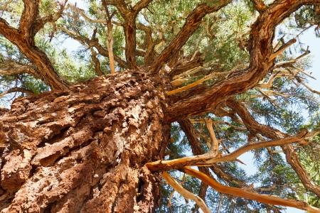 sierra: Giant Pine Tree in the Sierra Nevada, California, USA