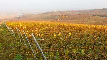 ドイツのラインヘッセンにブドウ園秋を色します。