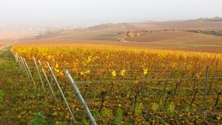 Vineyard Fall Colors in Rheinhessen, Germany.