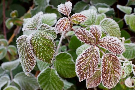 hoar: Leaves Covered with Hoarfrost in Autumn.
