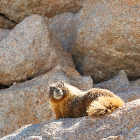 pacific crest trail: Marmot on Mount Whitney, Sierra Nevada, California, USA. Stock Photo