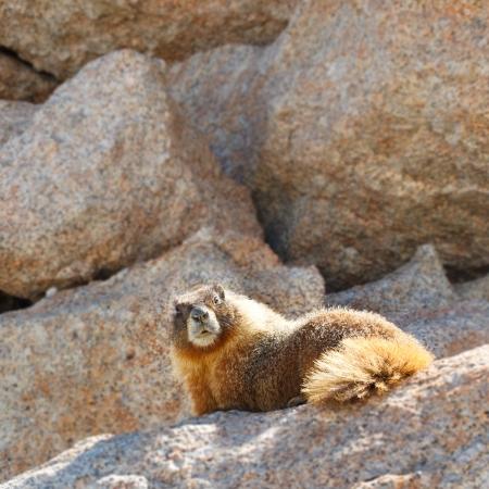 john muir trail: Marmot on Mount Whitney, Sierra Nevada, California, USA. Stock Photo
