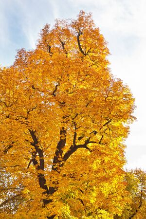 Tree with vibrant fall colors. Stock Photo - 17335935