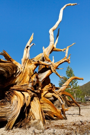 high sierra: Root of a dead Bristlecone Pine in the Sierra Nevada, California, USA. Stock Photo