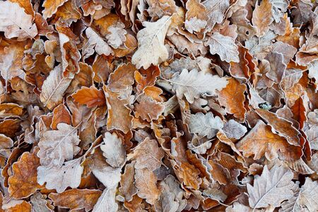 hoar frost: Oak Leaves in Autumn Covered with Hoarfrost