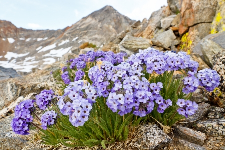Polemonium Eximium Flower (Jacob's Ladder, Skypilot). Purple wildflower on mountain pass in the Sierra Nevada, California. Stock Photo - 18024931