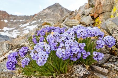 Polemonium Eximium Flower (Jacobs Ladder, Skypilot). Purple wildflower on mountain pass in the Sierra Nevada, California. Stock Photo