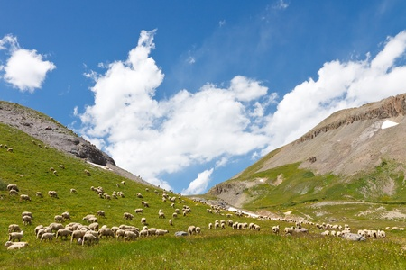 Herd of Sheep Grazing on Mountain Meadow in the Rocky Mountains photo