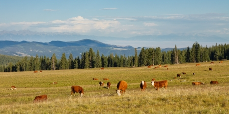 Cattle grazing on pasture in the Rocky Mountains, Colorado, USA photo