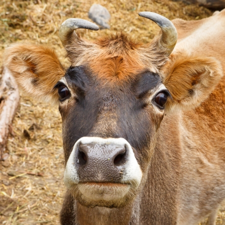 closeup cow face: Cow in the Karakorum Mountains in Pakistan Stock Photo
