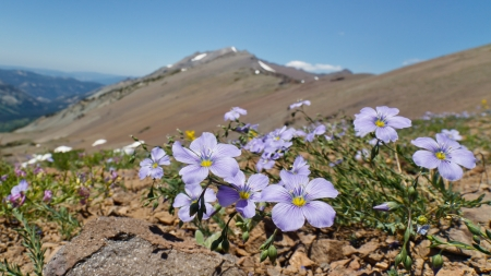 pacific crest trail: Wildflowers in the Sierra Nevada, California, USA