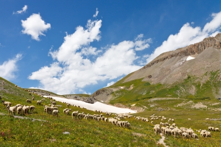 alpine tundra: Grazing Sheep Herd in Alpine Tundra in Colorado