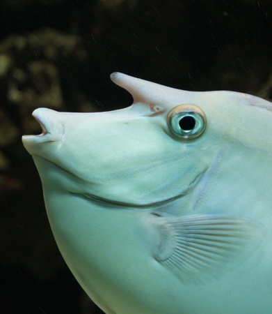 surgeonfish: Close-up image of Unicorn Surgeonfish in water