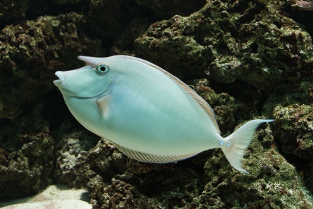 Close-up image of Unicorn Surgeonfish in water Stock Photo - 8589173